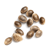 Feminized Hemp CBD Seeds